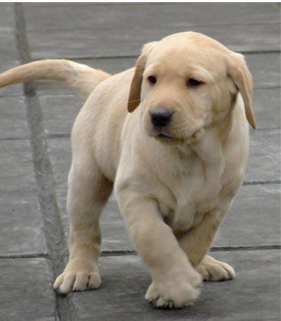 纯种金毛_纯种拉布拉多犬图片-我们爱宠物网